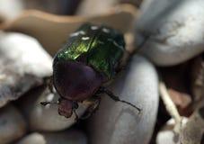 Grüne glänzende Käfer-Nahaufnahme innerhalb der Steine stockfoto