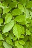 Grüne Glyzinie-Rebe-Blätter Stockfoto