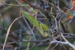Grüne Gottesanbeterin auf Blume lizenzfreie stockfotos