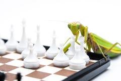 Grüne Gottesanbeterin, die oben Schach auf dem Schachbrett, Abschluss, selecti spielt Stockbild