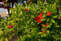 Grüne Granatapfelniederlassungen mit roten Blumen Stockbilder