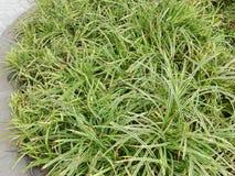 Grüne grasartige Blätter Stockfoto