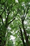Grüne große Bäume Stockfotografie