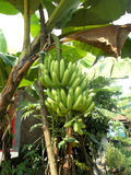 Grüne große Banane, die an der Bananenstaude hängt lizenzfreie stockfotos