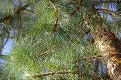Grüne große Nadeln der Kiefer stockfotos