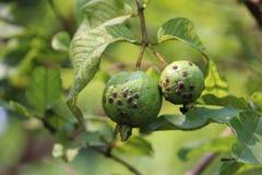 Grüne Guajava lizenzfreies stockfoto