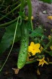 Grüne Gurke mit einer Blume stockfotografie
