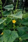 Grüne Gurke mit einer Blume stockfoto