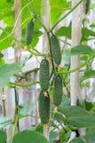 Grüne Gurken Lizenzfreie Stockbilder
