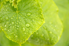 Grüne Gurken-Blätter Lizenzfreie Stockbilder