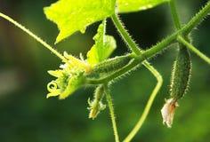 Grüne Gurken mit gelben Blumen in einem Gemüsegarten Stockfotografie