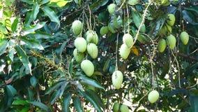 Grüne hängende Mango, Mangofeld, Mangobauernhof Landwirtschaftliches Konzept, landwirtschaftliches Industriekonzept stock footage