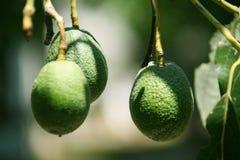 Grüne Haas Avocados auf dem Baum lizenzfreie stockfotos