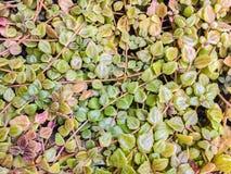 Grüne Hecke überwucherte Abdeckung der Zaun, grüner Feigenwandhintergrund lizenzfreies stockbild