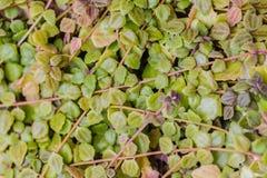 Grüne Hecke überwucherte Abdeckung der Zaun, grüner Feigenwandhintergrund lizenzfreie stockbilder