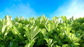 Grüne Hecke stockfotografie