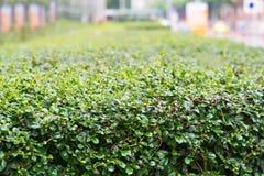 Grüne Hecke lizenzfreies stockfoto