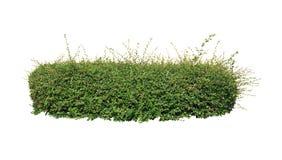 Grüne Hecke auf lokalisiert lizenzfreies stockfoto