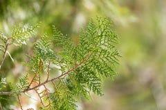 Grüne Hecke der Thuja-Bäume lizenzfreies stockbild