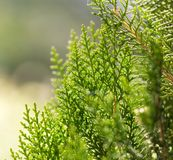 Grüne Hecke der Thuja-Bäume stockbilder