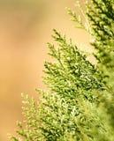 Grüne Hecke der Thuja-Bäume lizenzfreies stockfoto