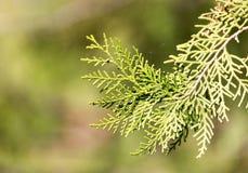 Grüne Hecke der Thuja-Bäume stockfotos
