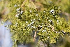 Grüne Hecke der Thuja-Bäume stockfotografie