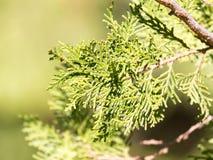 Grüne Hecke der Thuja-Bäume lizenzfreie stockfotos