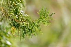 Grüne Hecke der Thuja-Bäume stockfoto