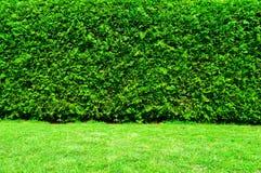 Grüne Hecke der Thuja-Bäume lizenzfreie stockbilder