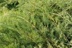 Grüne Hecke der Thuja-Baumzypresse, Wacholderbusch Grüner natürlicher Hintergrund Abschluss oben Beschaffenheit Blätter der Kiefe Stockfotos
