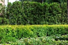 Grüne Hecke des immergrünen Thuja und der belaubten Büsche des Sommers stockbilder