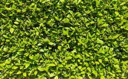 Grüne Hecke im Frühjahr Frische grüne Blätter, an einem sonnigen Tag, voller Rahmenhintergrund lizenzfreie stockbilder