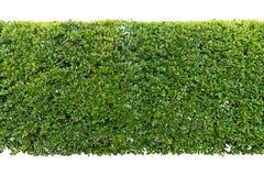 Grüne Hecke lokalisiert stockbilder
