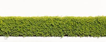 Grüne Hecke lokalisiert stockbild