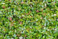 Grüne Hecke mit Blumenhintergrund stockfoto
