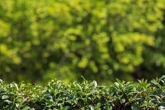 Grüne Hecke und unscharfer Hintergrund lizenzfreies stockbild