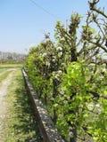 Grüne Hecke von Birnen- und Apfelbäumen mit Hintergrund des blauen Himmels Stockfotos