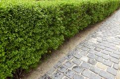 Grüne Hecke von der Buschbürgersteigs-Fußgängerzone stockfotos