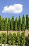 Grüne Hecke von Thuja-Bäumen, Natur, Hintergrund vor dem hintergrund des blauen Himmels lizenzfreies stockbild