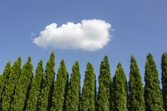 Grüne Hecke von Thuja-Bäumen, Natur, Hintergrund vor dem hintergrund des blauen Himmels stockbild