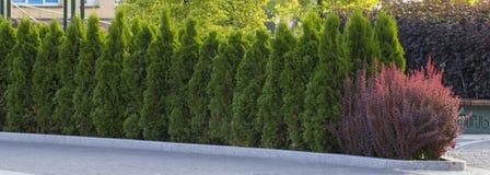 Grüne Hecke von Thuja-Bäumen, Natur, Hintergrund vor dem hintergrund des blauen Himmels lizenzfreie stockfotos