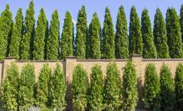 Grüne Hecke von Thuja-Bäumen, Natur, Hintergrund vor dem hintergrund des blauen Himmels lizenzfreie stockfotografie