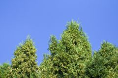 Grüne Hecke von Thuja-Bäumen, Natur, Hintergrund vor dem hintergrund des blauen Himmels stockbilder