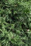 Grüne Hecke von Thuja-Bäumen (Zypresse, Wacholderbusch) stockbild