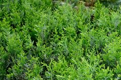 Grüne Hecke von Thuja, Bush-Baumzypresse, Wacholderbusch lizenzfreie stockfotografie