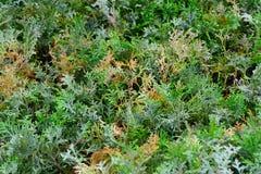Grüne Hecke von Thuja, Bush-Baumzypresse, Wacholderbusch lizenzfreies stockbild