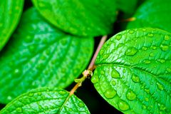 Grüne helle Blätter mit Regen lässt Natur backgro fallen stockbild