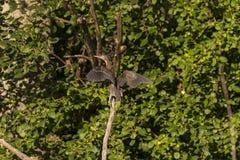 Grüne heronButorides virescens in der Naturumwelt stockfoto
