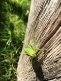 Grüne Heuschrecke stockfotografie